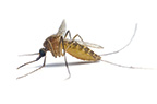Follow these simple precautions to cut down your risk of mosquito-born illnesses. (Fotolia)